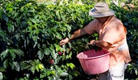 9263 Doka Coffee Plantation