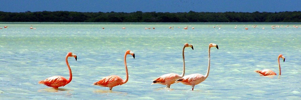 Flamingoes in the Yucatán