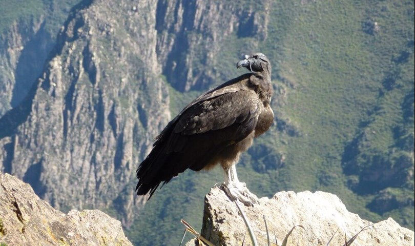 where to see condors - Colca Canyon, Peru