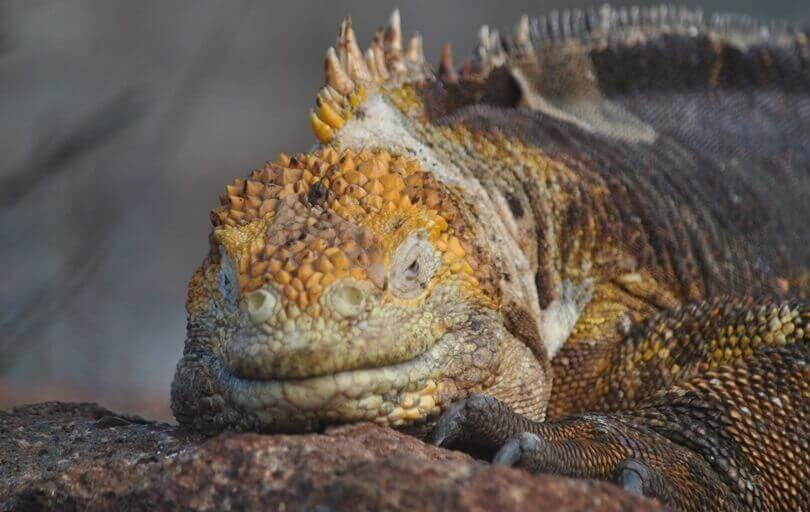 Galapagos animals - land iguana