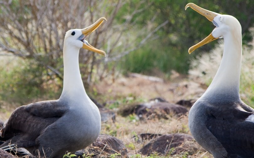 Galapagos animals - waved albatrosses