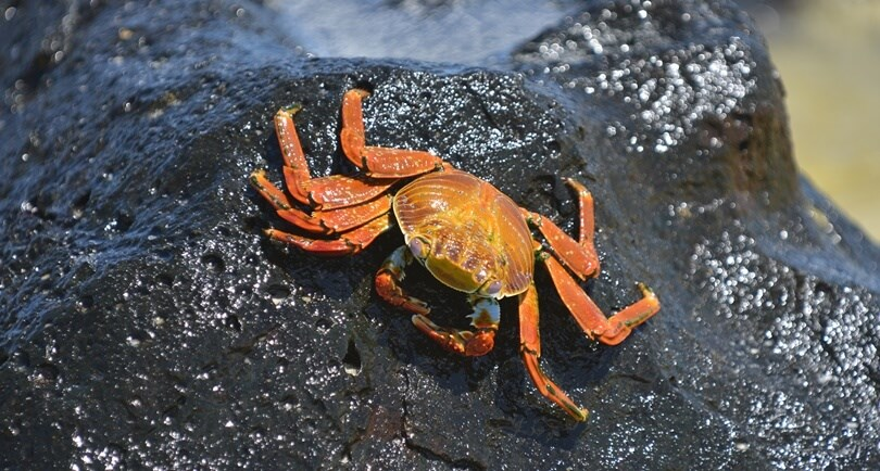 Galapagos animals - Sally Lightfoot crab